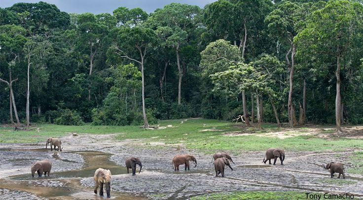 Primal Instinct: Heart of the African Rainforest – where Pangolins, Picathartes, Bongos & Lowland Gorillas hide