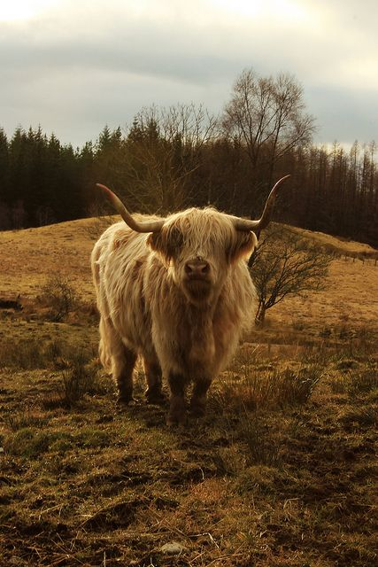 Highland cow. ♥ Maybe in the next herd :)