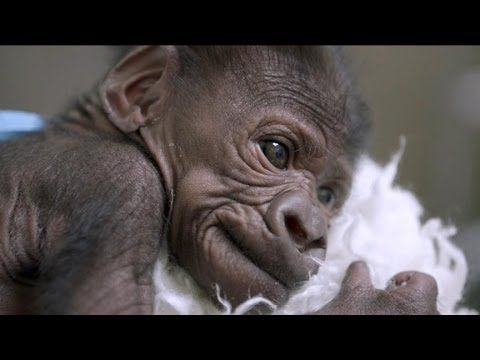 ▶ Baby Gorilla Reunites With Mother - YouTube