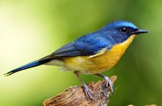 Burung Tledekan (Sulingan) #bird #pets #animals #breeding #binatang #hewan #peliaraan #burung