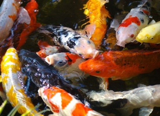 5 good koi fish pond construction fish pinterest for Koi carp pond construction