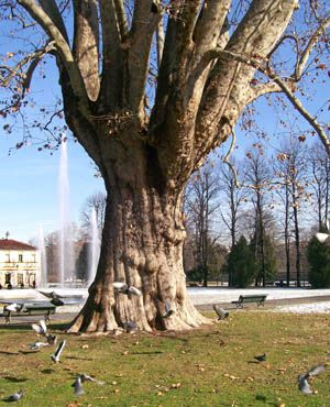 Torino - Il platano della Tesoriera - E' l'albero più vecchio della città di Torino.