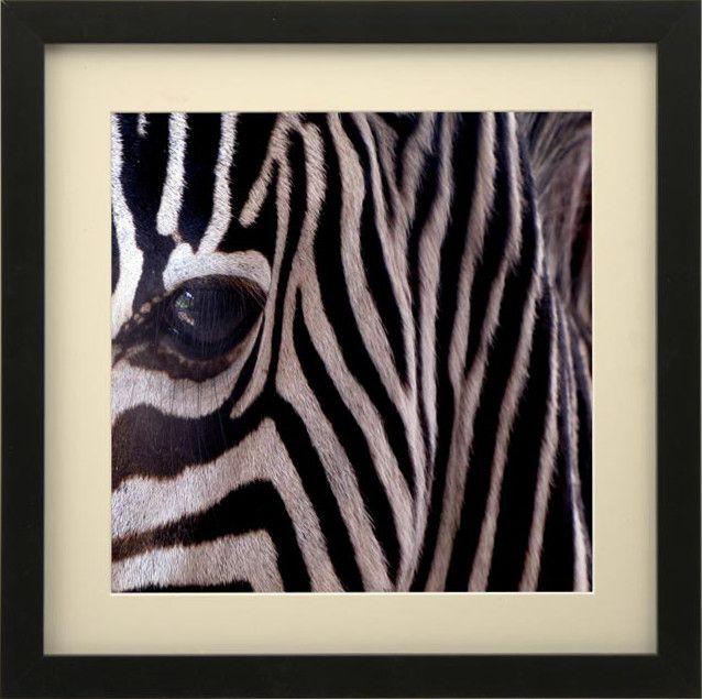 Zdjęcie zebry oprawione w passe partout i czarną,nowoczesną ramkę.  Pracownia oprawiamy w ramy