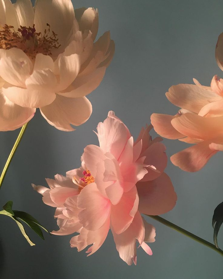 these are peonies!