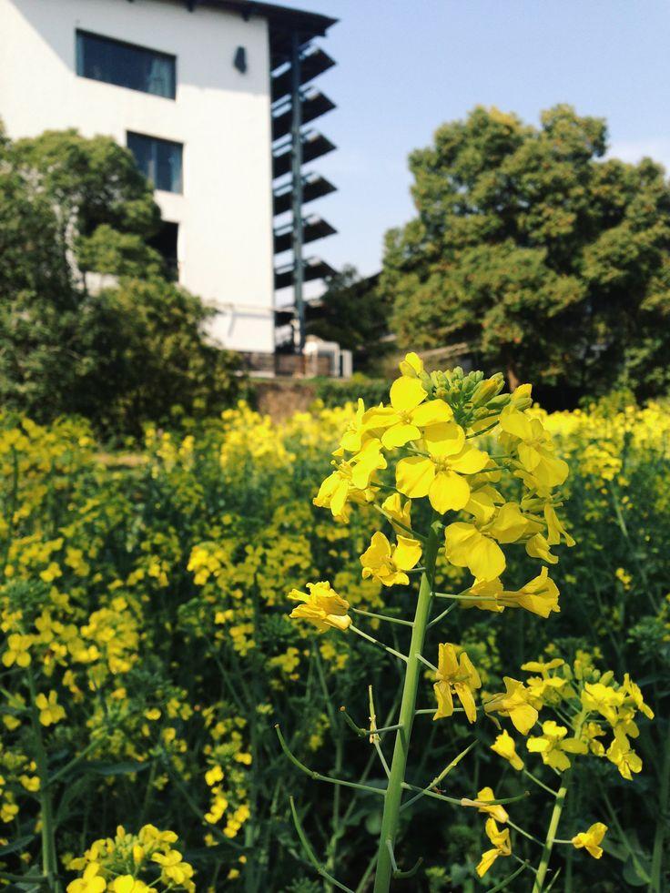 Rape flowers in CAA
