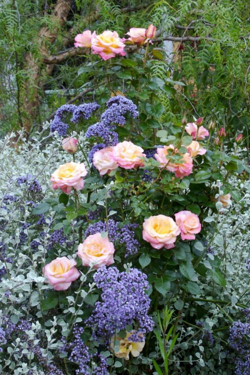 Color, form and fragrance: Rosa 'French Perfume' with Limonium (statice) and Helichrysum (licorice plant).  via Teresa O'Connor on Pinterest.