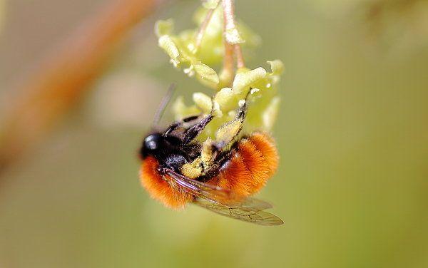 Tawny Mining Bee  Print By Rumyana Whitcher