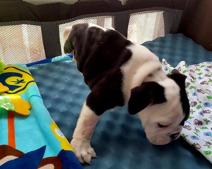 Bulldog Puppy with Deformities and Amputated Legs - Bonsai