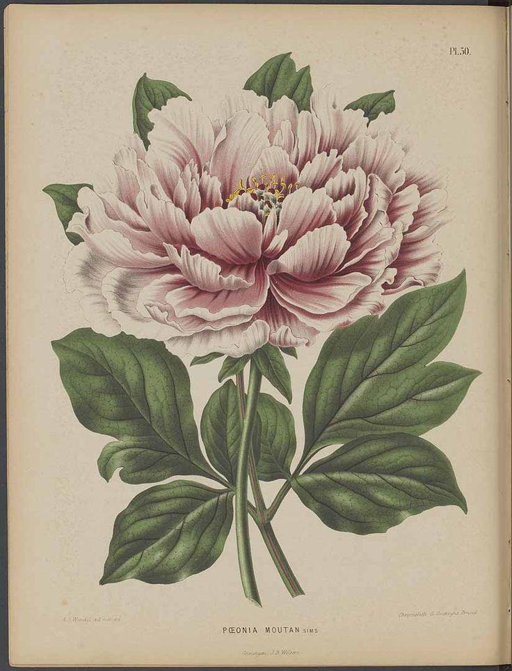 Moutan Peony Flower Decoration