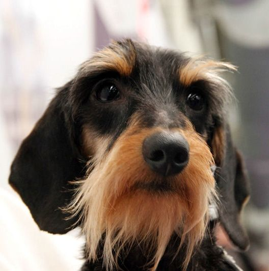 Wirehaired Dachshund Puppy Dog Puppies Dogs