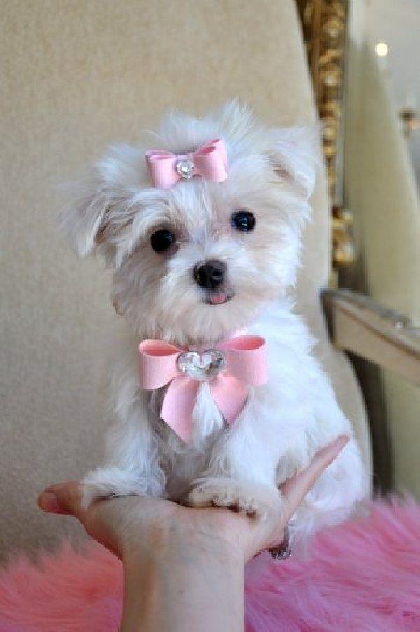 †♥ ✞ ♥†  Maltese - so cute †♥ ✞ ♥†