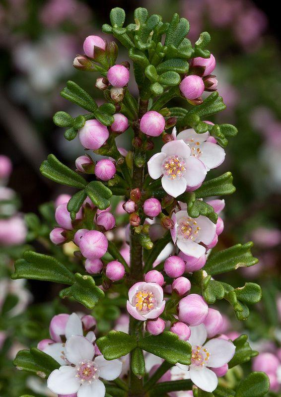 Boronia anemonifolia - Stinky Boronia