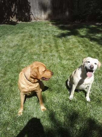 FOUND DOGS: Two Male Lab Mixes Found In Thornton Near Rec Center 9/19