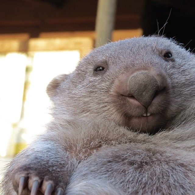 Getting up close and personal with a baby wombat at Bonorong Wildlife Sanctuary in Tasmania's south. #wombat #tasmania #discovertasmania Image Credit: Ashley Averill