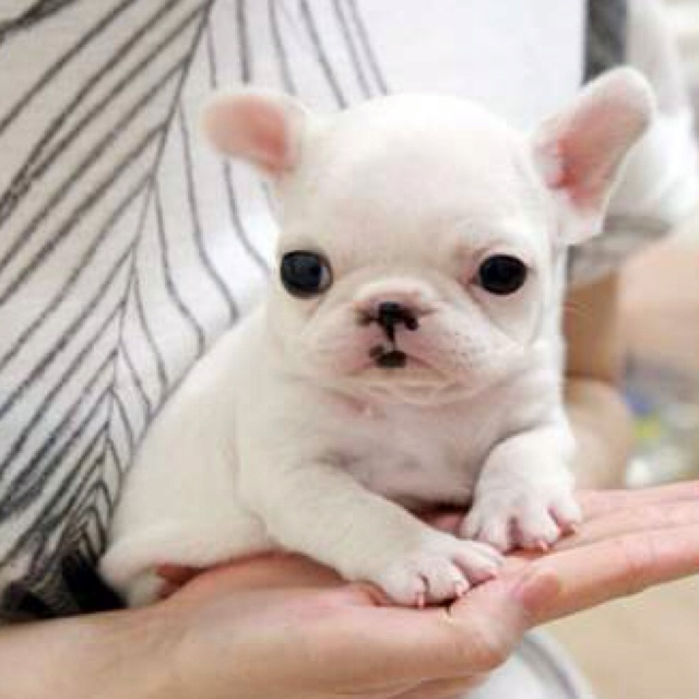 Teacup French Bulldog, I WANT one so baddd!!! @vick hector :)))