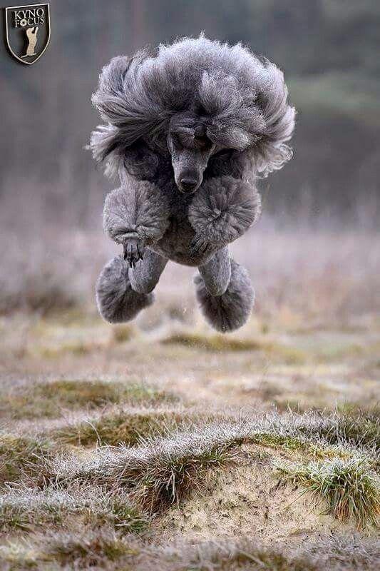 Poodle hovercraft!  LOL  Perfect example of the Poodle joie de vivre.