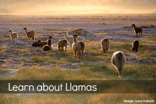 Learn all about llamas from the Andes Mountains! Llama facts, children's books, photos, a celebration, and more: perfect for a South America unit.