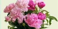 How to Force Peonies to Open   eHow