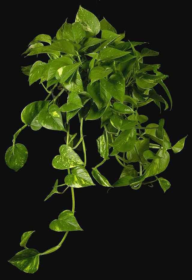 plantas colgantes para interior - Plantas Colgantes