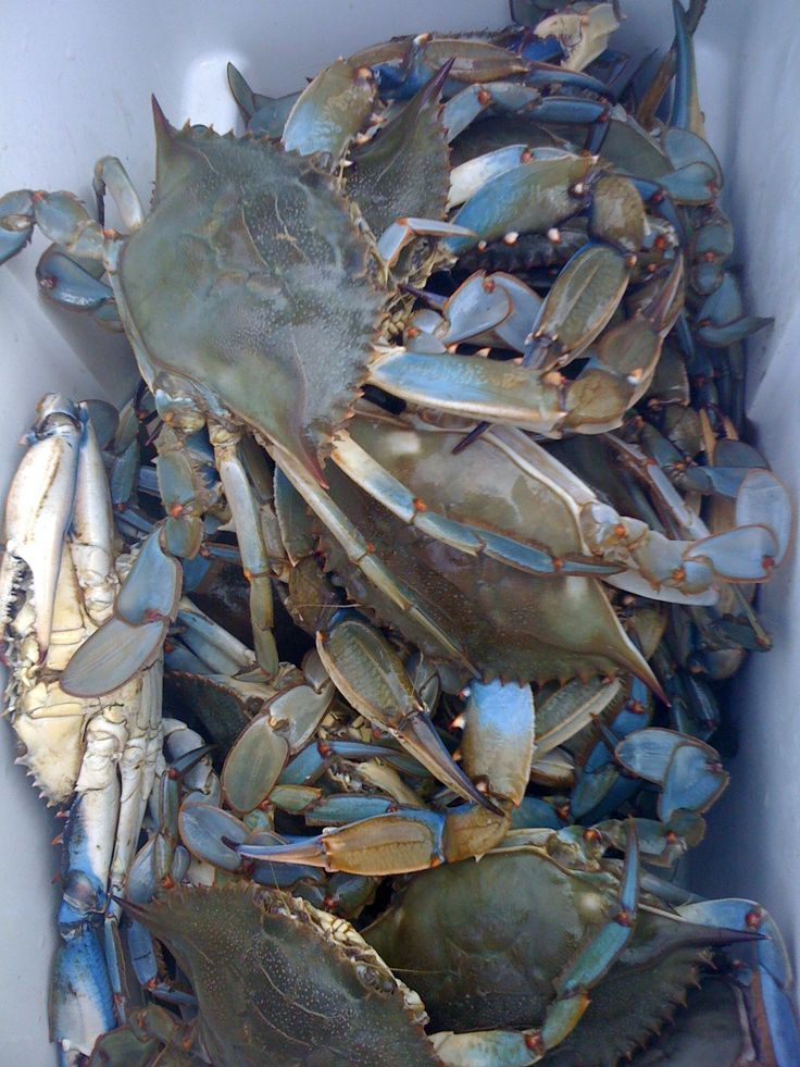 300 best images about toms fishing crabs on pinterest for Blue crab fishing
