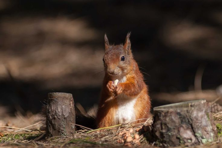Mid Wales Red Squirrel Partnership (MWRSP)