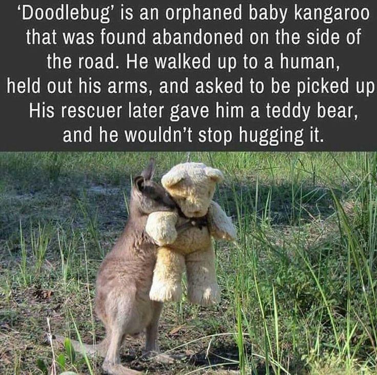 'Doodlebug' the Baby Kangaroo. So sweet. Poor thing. I hope he was rescued.