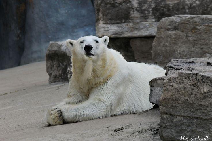 Polar bear 'solitude' - Maggie