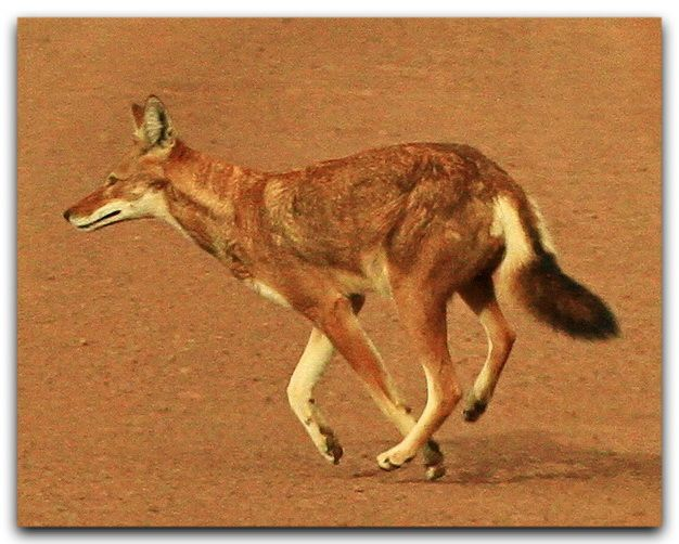 ETHIOPIAN WOLF (Canis simensis) The Ethiopian wolf is a ...