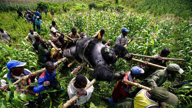 Petition · Belgium Government: Virunga National Park needs surveillance drones to tackle poaching! · Change.org