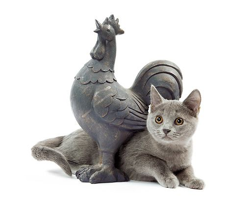 CAT 03 JE0226 01 © Kimball Stock Chartreux Kitten Laying Under Rooster Statue On White Seamless