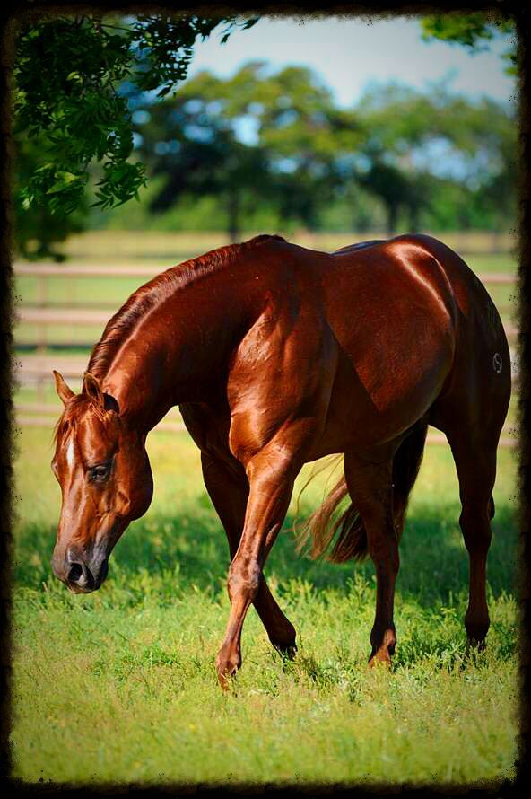 Smart Spook - 2001 American Quarter Horse Sorrel Stallion.
