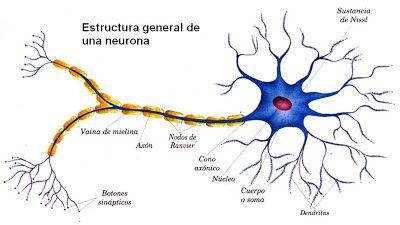 Neuronas: Estructura y morfologia