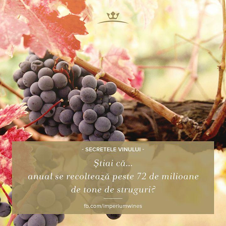 Vinul se bucură de o mare popularitate în rândul populației de pretutindeni - așa se explică recolta extrem de mare a strugurilor, din care o bună parte merg în producția de vin.