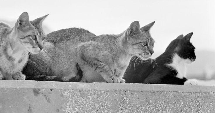 Como manter os gatos longe de seu pátio. Os gatos da vizinhança normalmente procuram áreas residencias na busca por alimento e abrigo ou para marcar seu território. Existem alguns métodos humanos de evitar que os gatos colonizem e habitem um pátio, assim como de desencorajá-los de cavar vasos de plantas. Repelentes permanentes e biodegradáveis podem ser comprados em pet shops, na ...