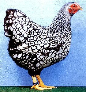 silver laced wyandottes   -  I happen to own a flock of these lovely ladies.