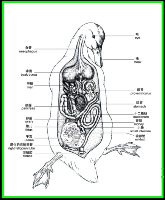 Female duck anatomy