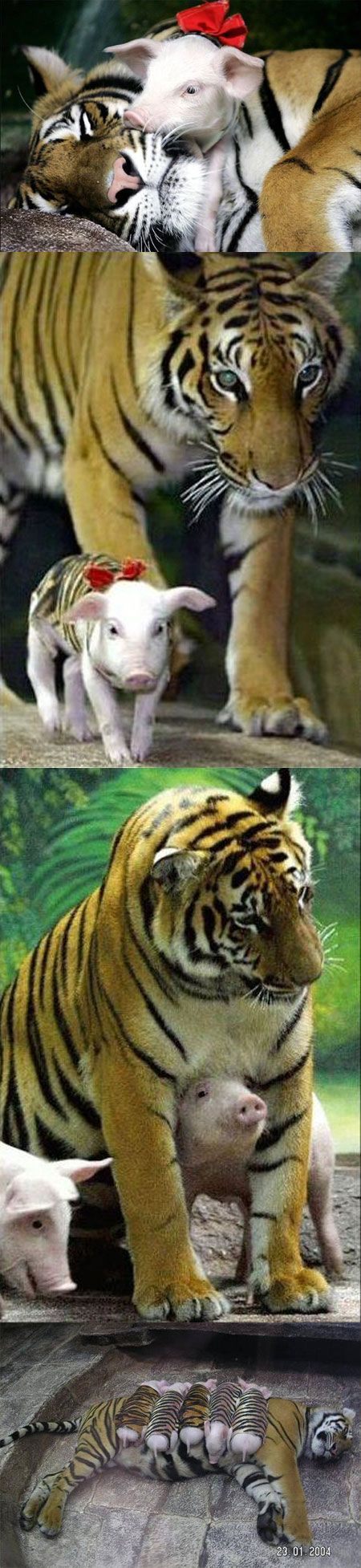 A tiger mother lost her cubs from premature labour. Shortly after she became depressed and her health declined, and she was diagnosed with depression. So they wrapped up piglets in tiger cloth, and gave them to the tiger. The tiger now loves these pigs and treats them like her babies.