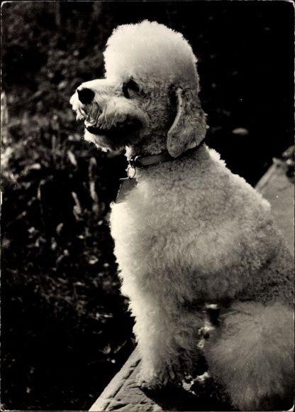 Ansichtskarte / Postkarte Hundeportrait, weißer Pudel ( #Poodle ), Halsband | akpool.de