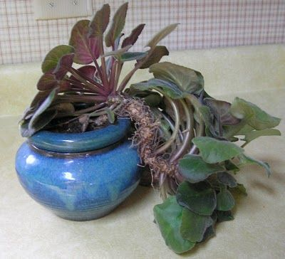 In The Garden With Helen Schaal: Fixing a Goose-necked African Violet