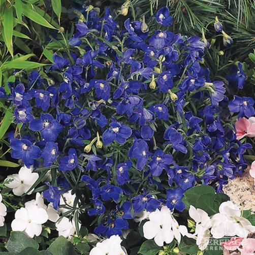 Delphinium grandiflorum 'Summer Nights'