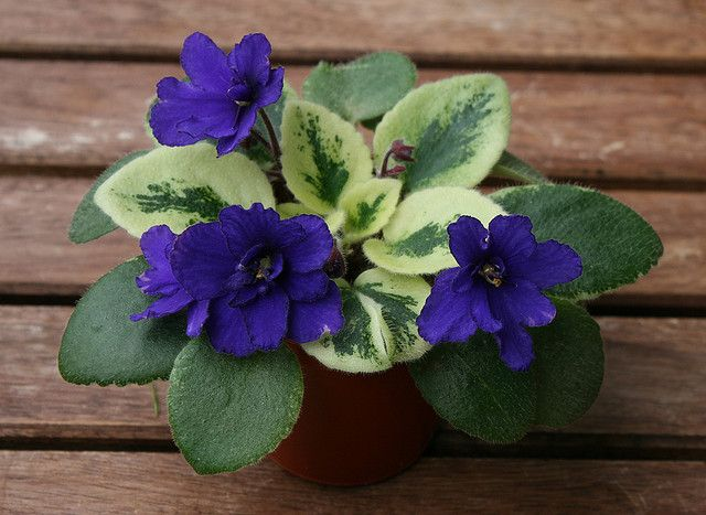 African violet Rob´s Shadow Magic