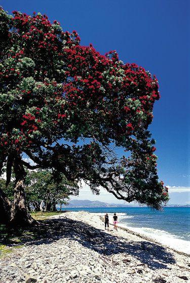 Pohutukawa tree, Coromandel Peninsula. http://www.walkinglegends.com/walks/coromandel-explorer/