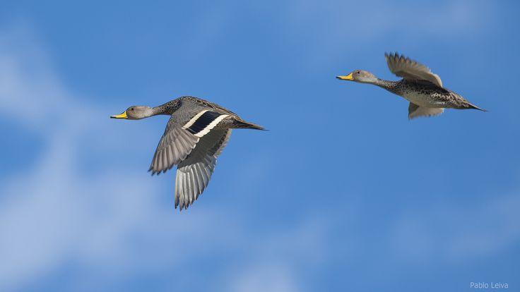 Temporada de Patos - duck season | por Pablo A. Leiva