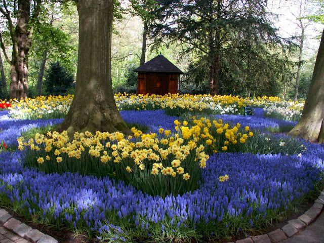 Blue Tulip Garden Design. Anemone Blanda Ublue Upeach Blossomu ...
