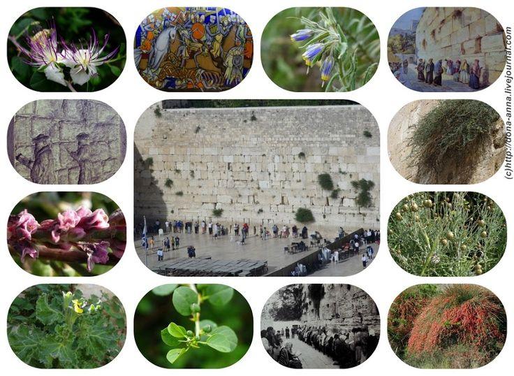 Семь растений Котеля (Западной стены, Стены плача).: dona_anna