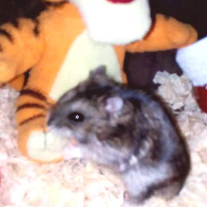 Apprivoiser Un Hamster Comment S Y Prendre
