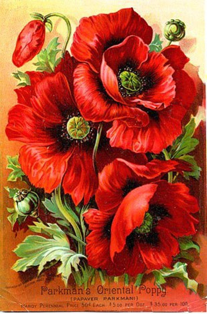 Vintage red poppies
