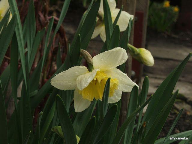 Narcyz (Narcissus)