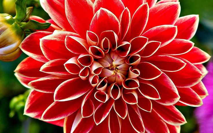 red dahlia flowers pictures wallpaper hd Red Dahlia