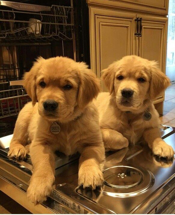 Awwe golden retriever puppies